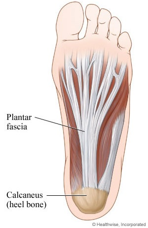 What is the Plantar Fascia